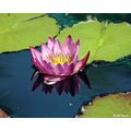 proverbmonday waterlilly