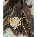 Masked Crab (Corystes cassivelaunus). Dead, unfortunately.