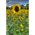 Derbyshire Sunflower