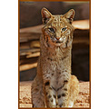 animal mammal bobcat zoo