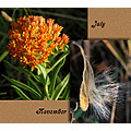 butterflyweed seedpod
