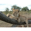 Lion Male SubAdult EndangeredSpecies WalkingWithLions Zimbabwe
