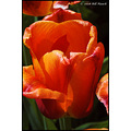 stlouis missouri us usa landscape plants flower macro tulip orange bh 2008
