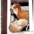 polish crested poultry chickens