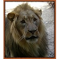 switzerland basel zoo animal lion switx basex zoox animx lionx