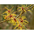 nature spring hazel flowers