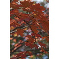 autumn fall leaves foliage newengland usa concord newhampshire