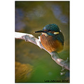 Wildlife natural history bird kingfisher spideyj
