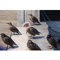 starlings halifax novascotia
