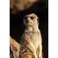 Meerkat animals wildlife