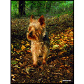 saffi9 autumn yorkshire terrier