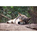 wolf zoo rest