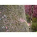 There are a lot of Caterpillars in a tree, close to Hans55's house... I have to say,, when you l...