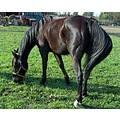 horse Trotter animal farm nature horses country Petit Special valerius