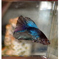 siamese fighter fish caesar super delta male changed marbled