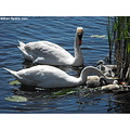 adult baby babies birds waterfowl family mute swan mute swans