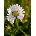 daisy light flower