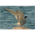 tern birds finland helsinki waterbirds