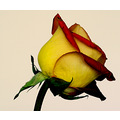 red yellow friendship rose stem flower