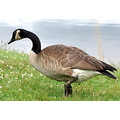 goose leg band bamded bird birds canada goose outdoors hunting