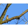 Cedar Waxwing The cold snap has warmed to a balmy 60+ today. The warm weather brought out a lot ...