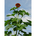 Ruths Sunflower