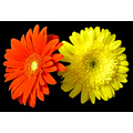 red yellow gerber daisy flower