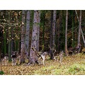 forest deer Bohemia