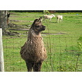 friendly llamas at  nearby farm