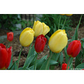 tulip plant usa us missouri stlouis red yellow 2006 springbook