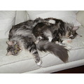 Sleeping beautys Maine Coon cats