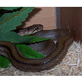 snake reptile pet nature