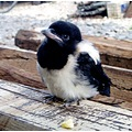 nature bird magpie little chick