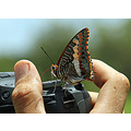Tame Charaxes
