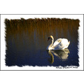 reflectionthursday Swan Wetlands Tralee Kerry Ireland Peter_OSullivan
