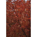 autumn fall leaves foliage newengland usa hanover newhampshire