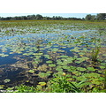 swamp lilypad water scenery view