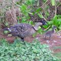 Nene Goose and Gosling (Just the first of several Kauai photos from our family vacation in celeb...