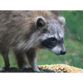 raccoon animal critter nature wildlife