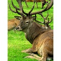 Red Deer animal wollaton Hall Nottingham Cervus elaphus