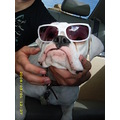 boxer glasses dog white lulu