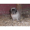 animals guineapigs pets guineapig