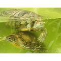 My dads turtles