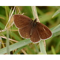 ringlet butterfly nature appledore devon