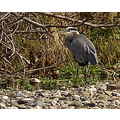 greatblueheron bird