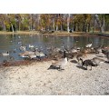 Feeding Frenzy! fattening up before the long flight to warmer climates. Canada Geese in St. Vit...