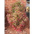 red-tipped bush