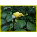 rose bud yellow