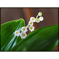 Flower nature Muguet LilyOfTheValley