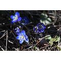 spring nature flower blue Hepatica nobilis